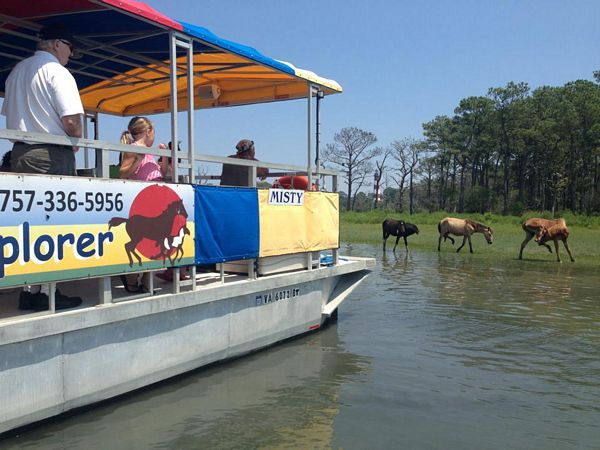Assateague Explorer with wild ponies; Photo Courtesy of Assateague Explorer