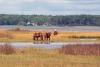Assateague Island Ponies; Photo by Bonnie Gruenberg